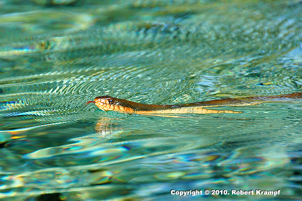 Red Bellied Watersnake