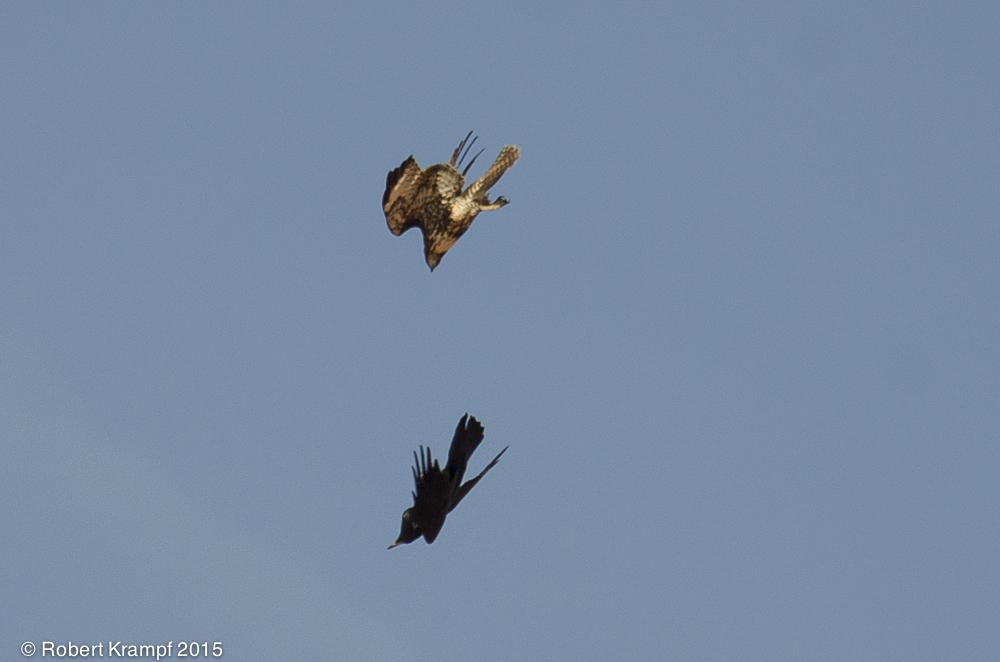 Hawk vs raven photos