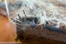 Molting tarantula