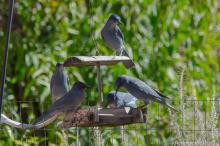 Pinyon Jays at feeder